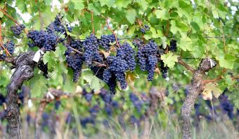 Zinfandel: Californische alleskunner